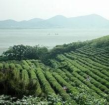 plantación de te china
