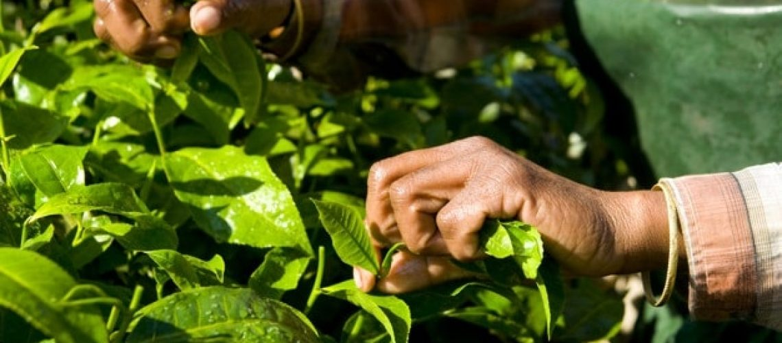 India Woman Harvesting Tea leaves