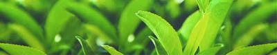 Té verde para la tensión